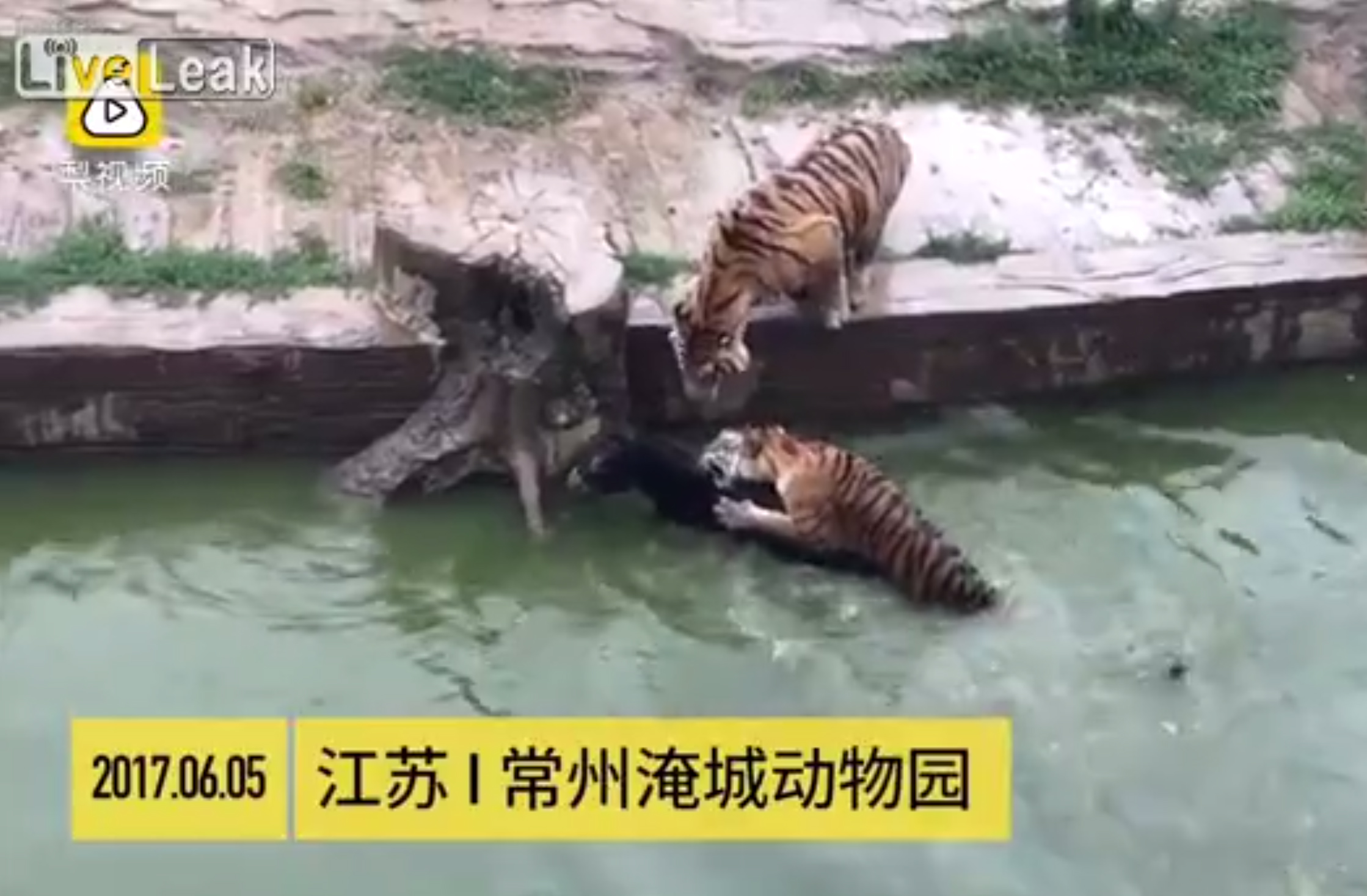 Angry Dissenters >> Angry Chinese zoo investors feed donkey to tigers - Bombthrowers